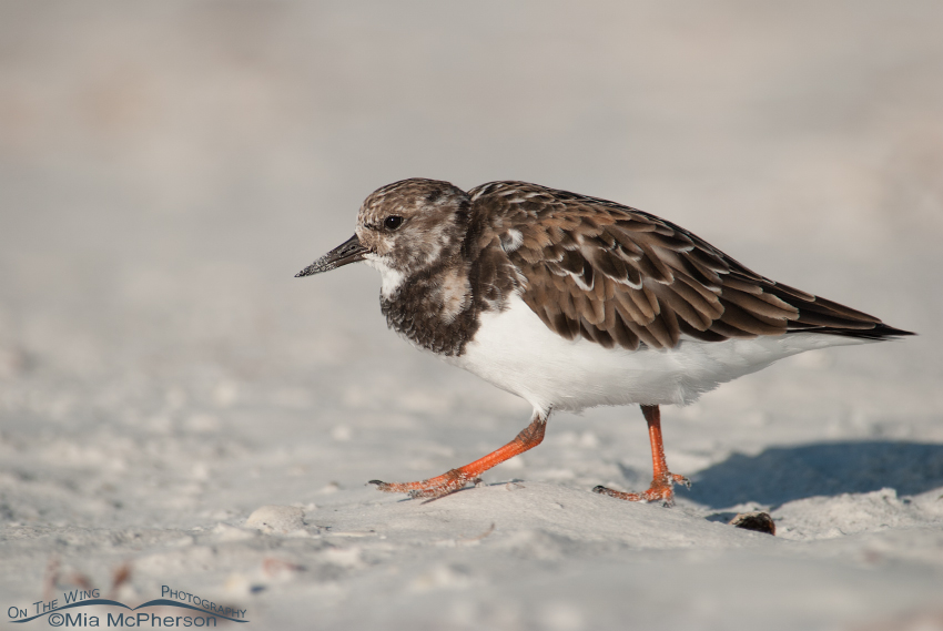 Ruddy Turnstone on the go