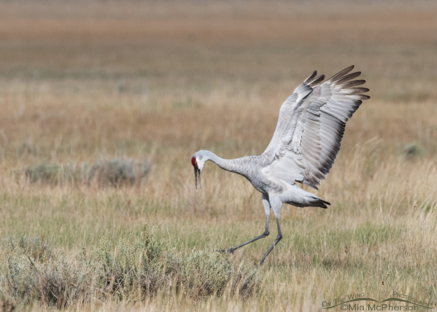 Male Sandhill Crane behavior