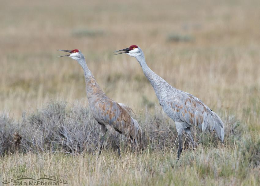 Sandhill Crane pair calling