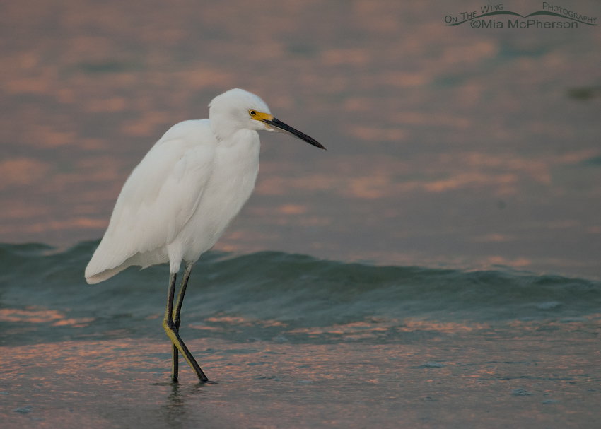 Snowy Egret at dawn