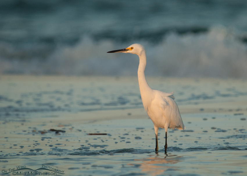 Snowy Egret in dawn's light