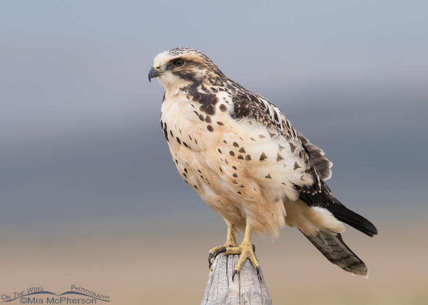Light morph juvenile Swainson's Hawk