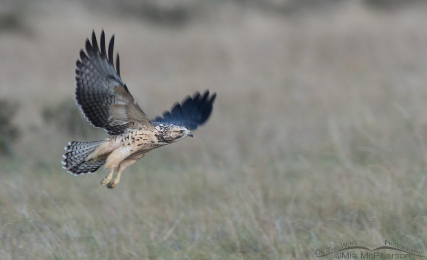 Juvenile Swainson's Hawk taking flight in poor light