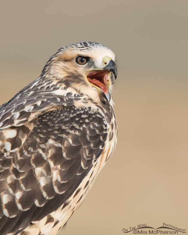 Calling juvenile Swainson's Hawk