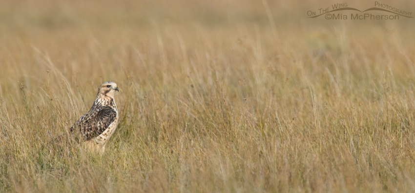 Juvenile Swainson's Hawk in the grasses in lovely light