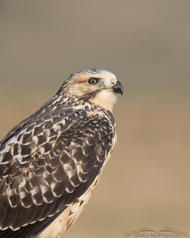 Portrait of a Swainson's Hawk light morph juvenile