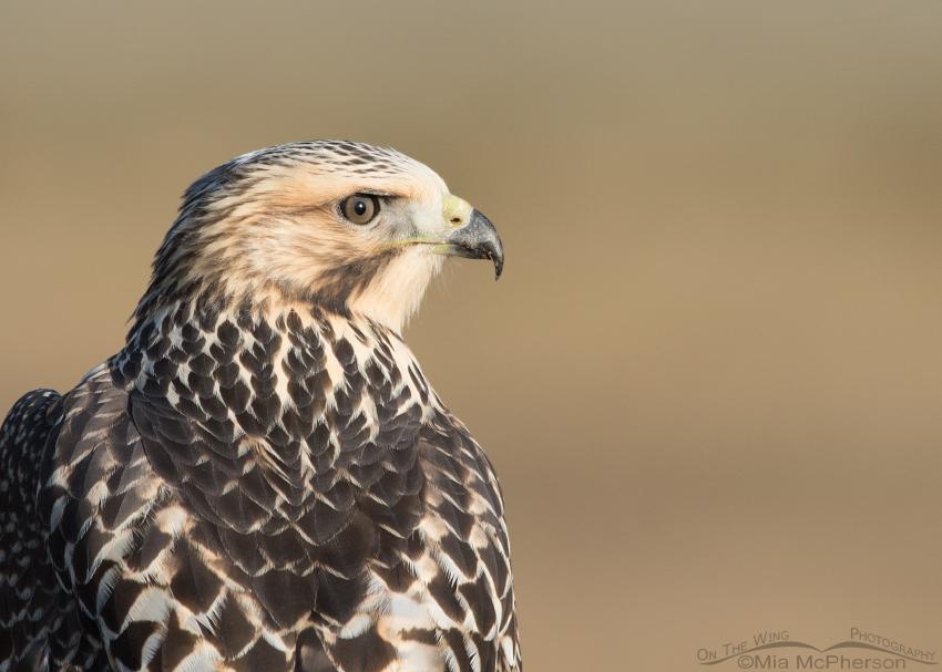 Juvenile Swainson's Hawk portrait