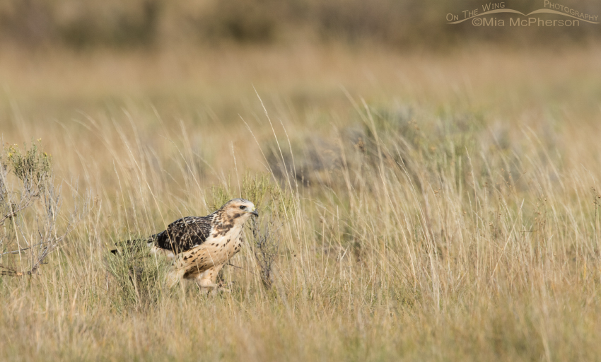Juvenile Swainson's Hawk running on the ground after prey