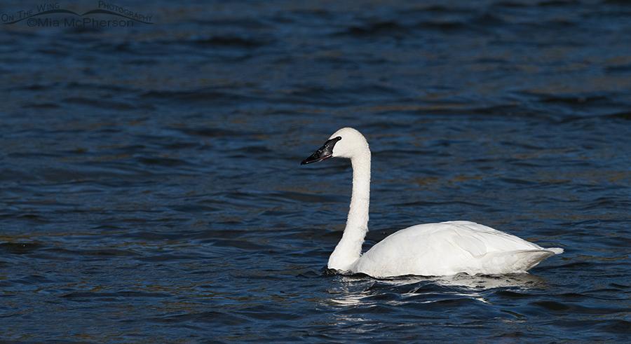 Trumpeter Swan on Elk Lake