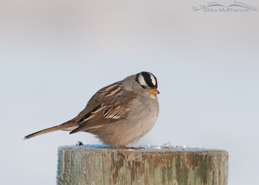 Adult White Crowned Sparrow on a cold winter day