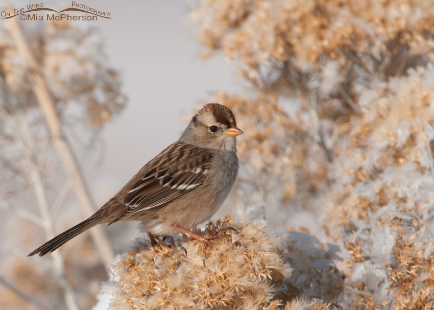 Juvenile White-crowned Sparrow perched on frost covered Rabbitbrush