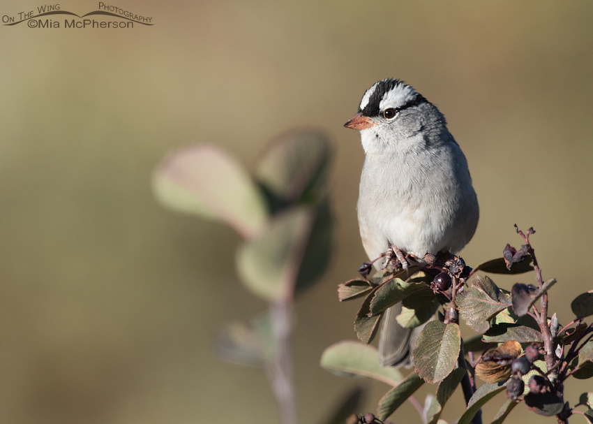 Interior West White-crowned Sparrow perched on Western Serviceberry