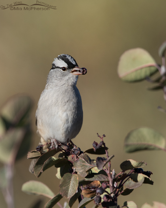 White-crowned Sparrow with a Western Serviceberry