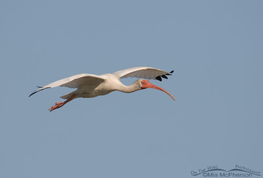 White Ibis in flight - Corrected White Balance