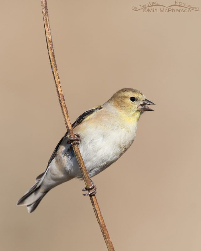 American Goldfinch eating a sunflower seed
