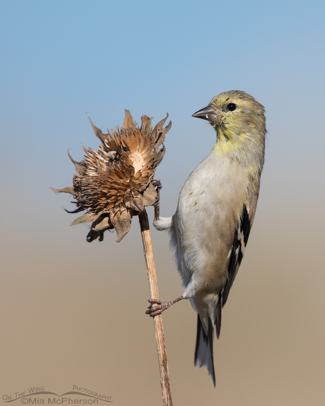Nonbreeding male American Goldfinch