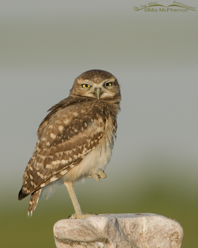 Juvenile Burrowing Owl looking right at me
