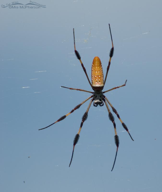 Female Golden-silk Spider