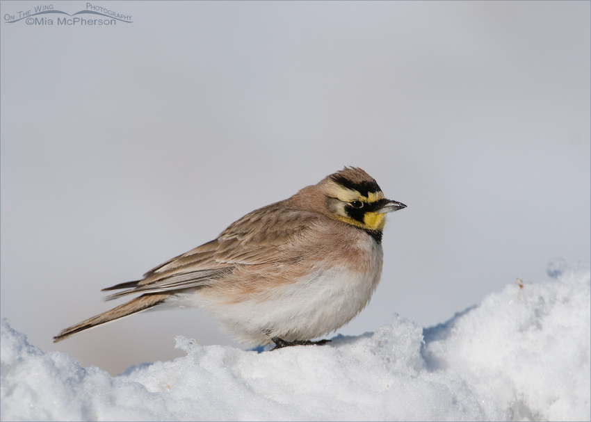 Male Horned Lark on a snow bank