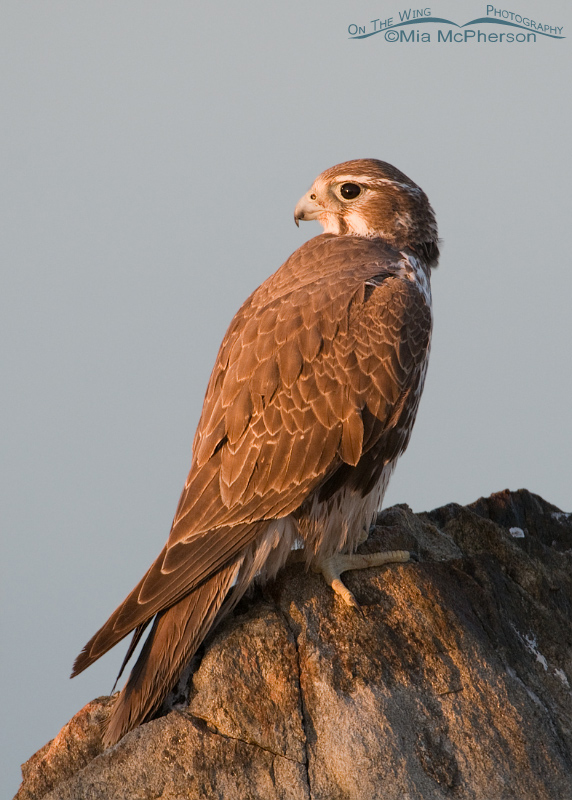 Prairie Falcon in early morning light