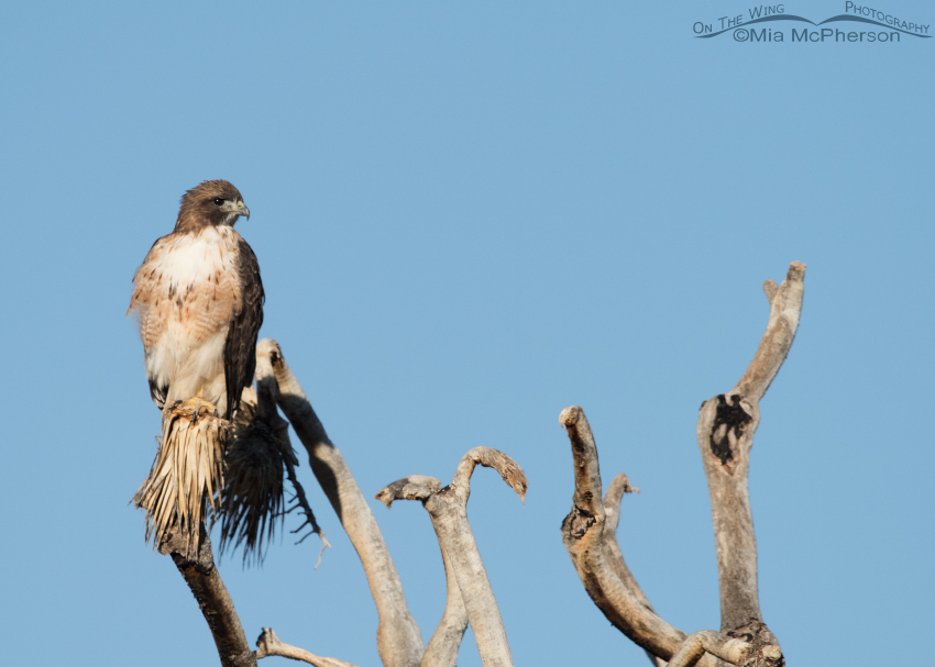Adult Red-tailed Hawk perched on a Joshua Tree