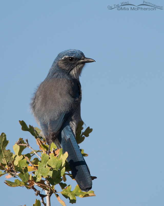 Western Scrub-Jay perched on an oak