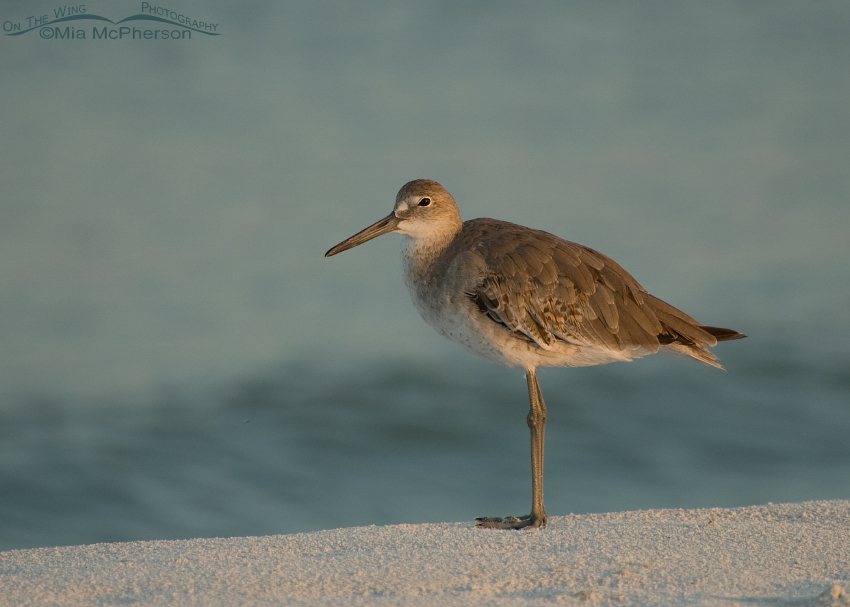 Solitary Willet in soft morning light